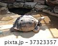 ガラパゴスゾウガメ 37323357