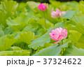 蓮 花 ハスの写真 37324622