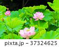 蓮 花 ハスの写真 37324625