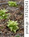 山菜 蕗の薹 ふきのとうの写真 37325241