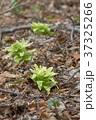 山菜 蕗の薹 ふきのとうの写真 37325266