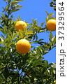 はっさく 果物 フルーツの写真 37329564