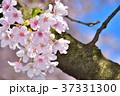 桜 桃色 ソメイヨシノの写真 37331300