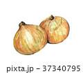 たまねぎ 玉葱 水彩画のイラスト 37340795