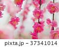 梅の花 37341014
