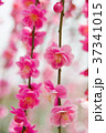 梅の花 37341015