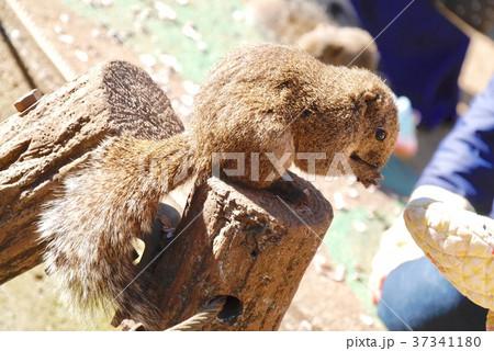 ヒマワリの種を食べているリス 37341180