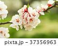 花 サクランボ チェリーの写真 37356963