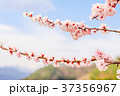 花 サクランボ チェリーの写真 37356967