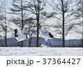タンチョウ 鶴 ダンスの写真 37364427
