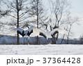 二羽で踊るタンチョウ(北海道) 37364428