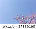 桜 春(4月) 37369195