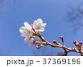 桜 春(4月) 37369196