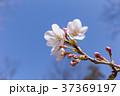 桜 春(4月) 37369197