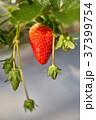 いちご いちご狩り 苺の写真 37399754