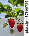 いちご いちご狩り 苺の写真 37399755