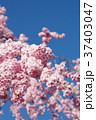 八重咲き 八重桜 桜の写真 37403047
