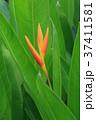 Closeup of Strelicia flower 37411581