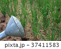 Old watering can on plant 37411583