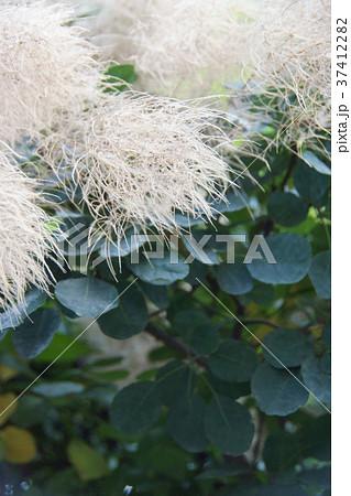 スモークツリー 花言葉は「賑やかな家庭」 37412282