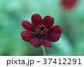 チョコレートコスモス 秋桜 コスモスの写真 37412291