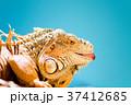 爬虫類 イグアナ 動物の写真 37412685