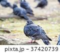 鳥 鳩 鳥類の写真 37420739