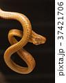 Beddome's cat snake, Boiga beddomei 37421706