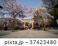 京都、桜の平野神社 37423480