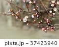 White cherry flowers 37423940