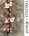 White cherry flowers 37423941