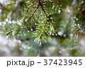 Pine twig with raindrops 37423945