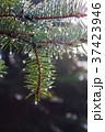 Pine twig with raindrops 37423946