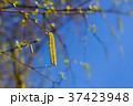 Blossoming birch 37423948