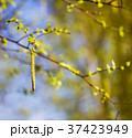 Blossoming birch 37423949