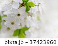 White cherry flowers 37423960