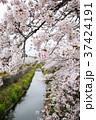 満開の桜 37424191