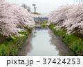 桜の名所、山崎川 四季の道 37424253