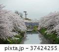 桜の名所、山崎川 四季の道 37424255