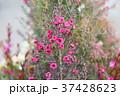 植物 花 ギョリュウバイの写真 37428623