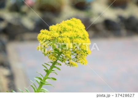 サボテンの花 37428627