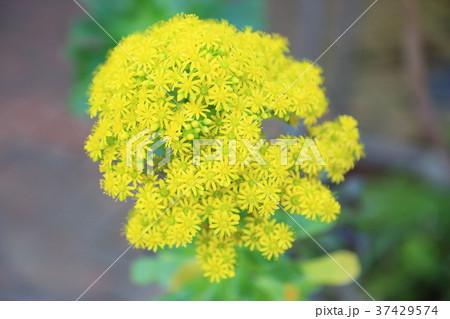 サボテンの花 37429574