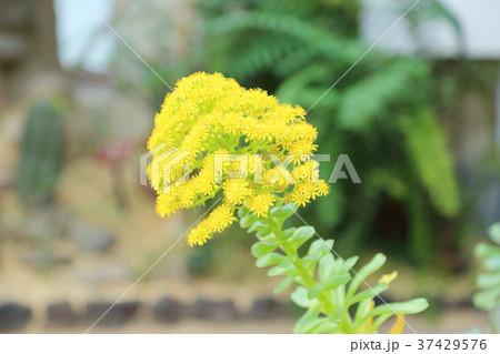 サボテンの花 37429576