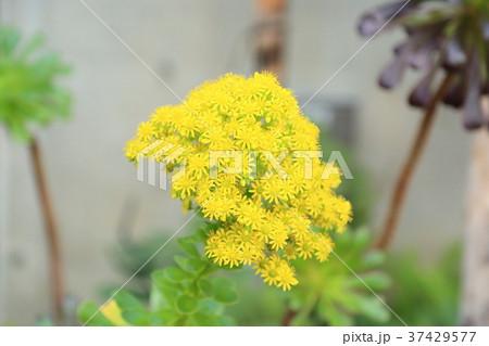 サボテンの花 37429577