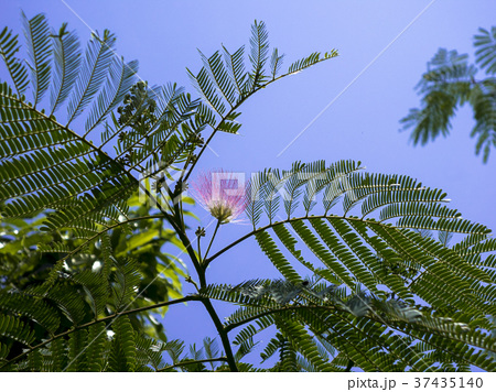 ネムの木の花 37435140