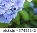 アジサイとてんとう虫 37435142