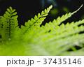 シダの葉 37435146
