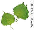 葉 野菜 紫蘇のイラスト 37442013