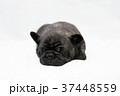 フレンチブルドッグ 子犬 37448559