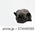 フレンチブルドッグ 子犬 37448560
